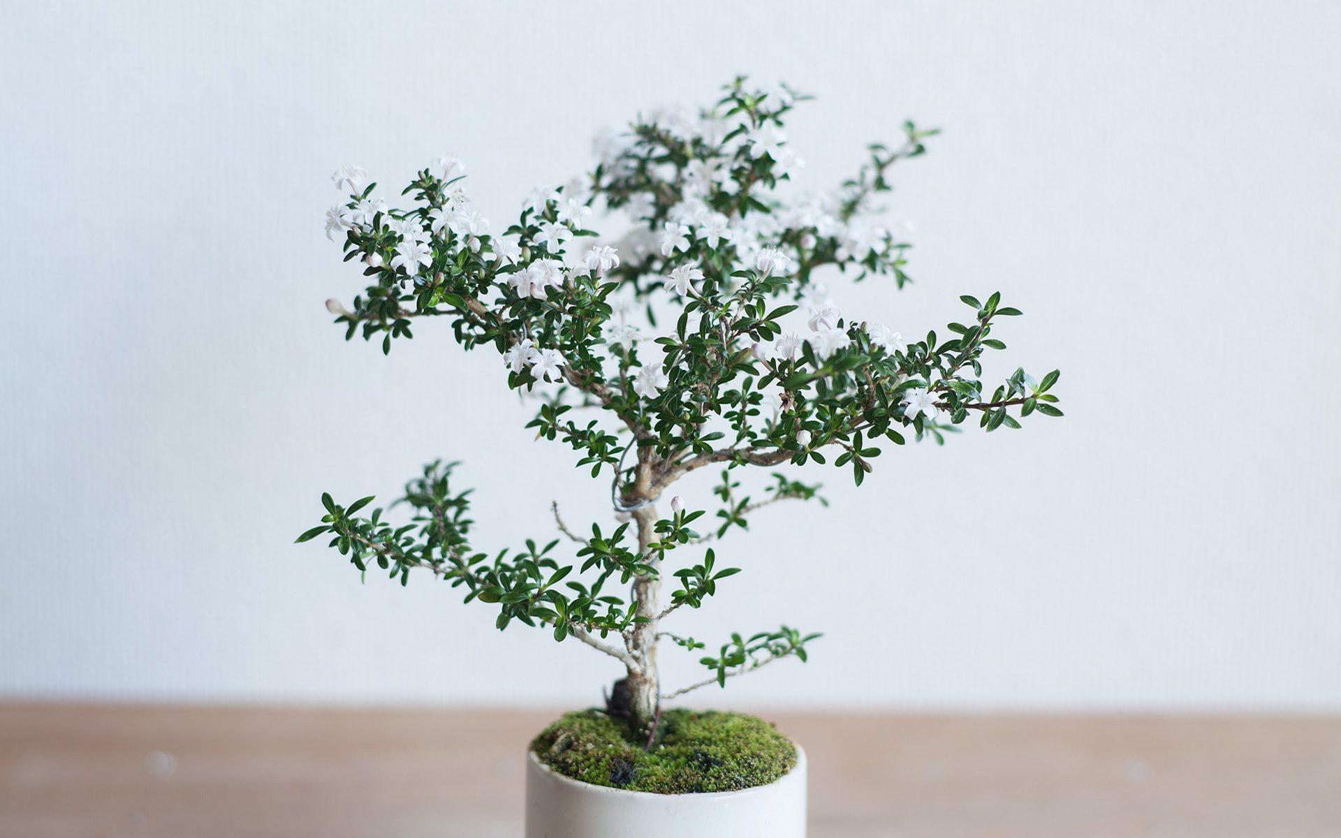 Serissa japonica